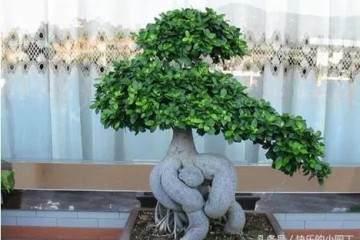 榕树盆栽的扦插法繁殖 图片