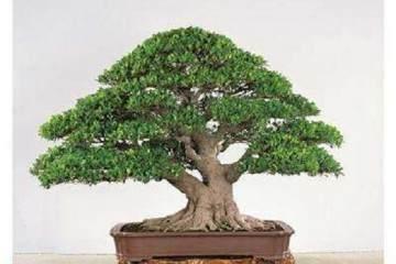 榕树盆栽的品种及养护技巧 图片