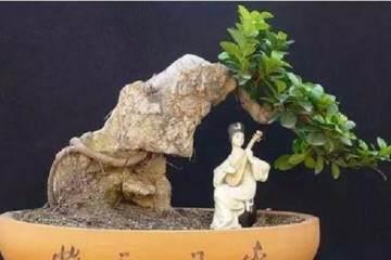榕树盆景怎么喷水浇水的方法 图片