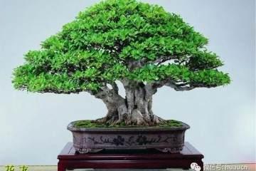 榕树老桩盆景怎样用盆的方法 图片
