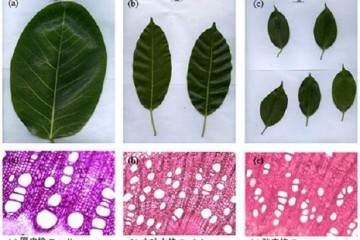 研究揭示榕树盆景枝条 叶片异速生长模式