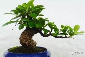盆栽榕树冬天会冻死吗 盆栽榕树冬天怎么养?
