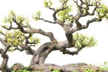 家庭的所有榕树盆栽 你更喜欢哪一种?