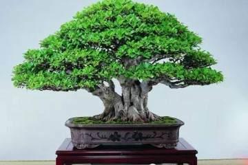 越是成熟的榕树盆景越容易变型 为什么?