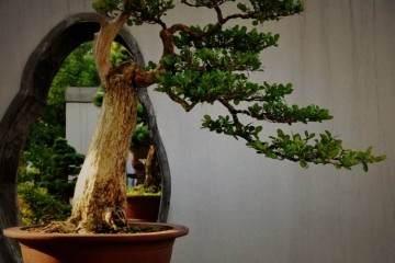 曹季德是著名的扬派盆景宗师王寿山老先生的徒弟
