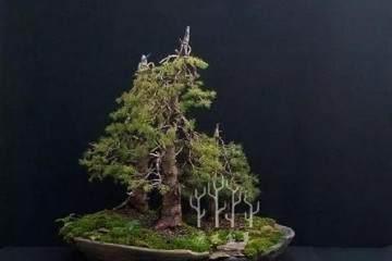 图解云杉丛林盆景的制作入门步骤