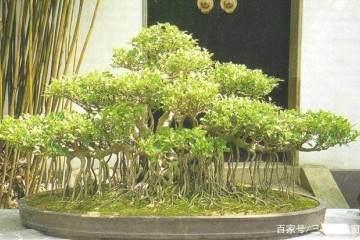 榕树盆景怎么发芽 翻盆与施肥的方法