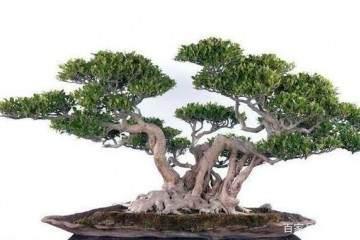 附石榕树盆景的修剪最好时间 图片