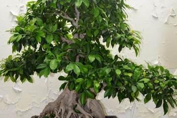 榕树盆景用盆多以方盆为主 长在20公分比较适宜