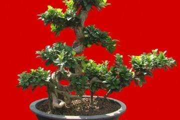 怎么制作榕树盆景提根造型 什么方法