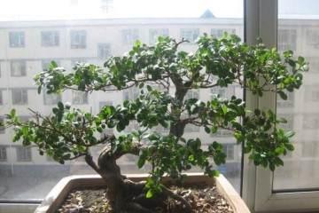 榕树老桩盆景怎么翻盆的方法 图片