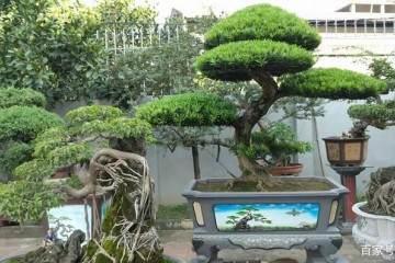 罗汉松盆栽的翻盆换土技巧 图片