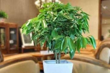平安树盆栽该怎么换土 图片