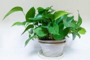 如何给绿萝盆栽换土 图片