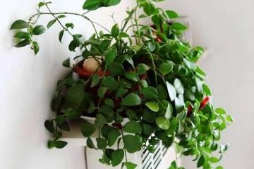 盆栽口红吊兰的换土技巧 图片