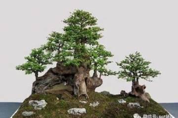 黄杨盆景在萌芽后的上盆技巧 图片