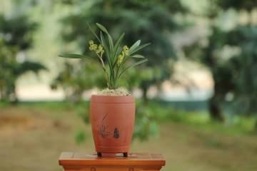 带花苞的春兰盆栽 如何上盆 图片