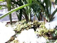 春兰上盆后遇到雨雪天气被冻了 该怎么办?