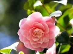 冬天想赏花?选这种养上盆 入冬花苞呼呼窜满枝!