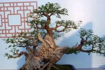 树桩盆景的上盆的时间常在春季或秋季