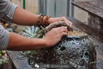 图解 仙女杯多肉植物的上盆过程