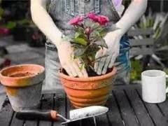 养花上盆、换盆与松盆的秘诀 你真的知道吗?