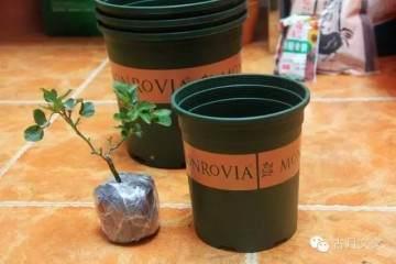 月季盆栽小苗的上盆方法 图片