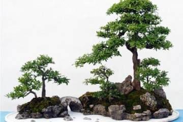 寒冬腊月 如何让盆景植物安稳过冬?