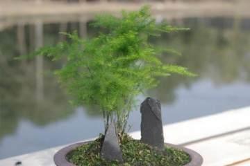 什么样的文竹最适合制作盆景