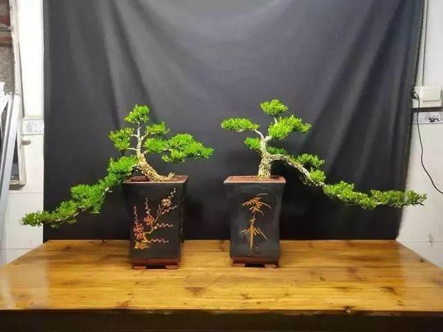 一句养树经 把黄杨盆景养成传家宝