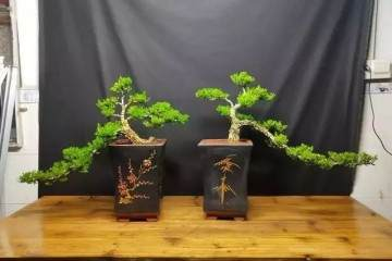 为什么黄杨盆景回芽是盆土差 生根慢造成的