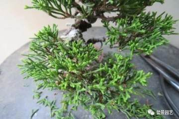 图解 双干微型柏树盆景怎么整型的过程