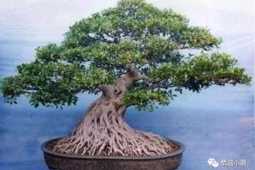 怎么给家里的榕树盆景浇水 图片
