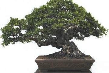 柯成昆先生另外一件榕树盆景铭品《十八罗汉》