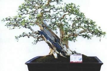 海岛罗汉松盆景藏品展在东莞真趣园开幕