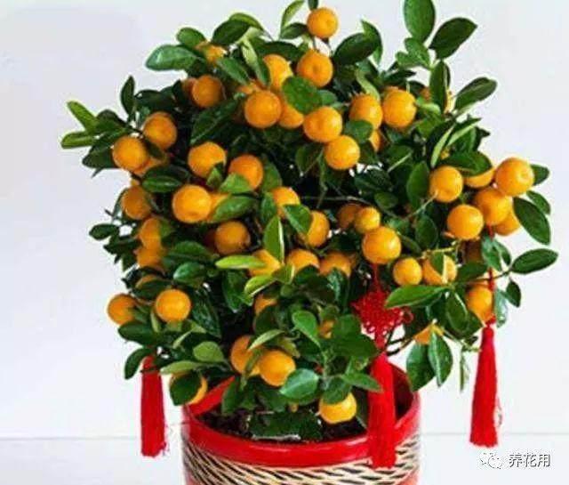 金桔盆栽换盆后的养护