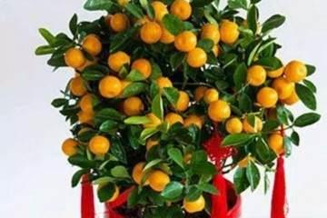 金桔盆栽换盆后的养护 图片