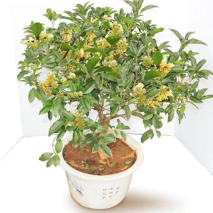 桂花盆栽怎么换土 最好?