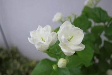 茉莉花盆栽的施肥很重要 换盆和换土你会么?