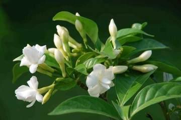 栀子花盆栽的换盆步骤 图片