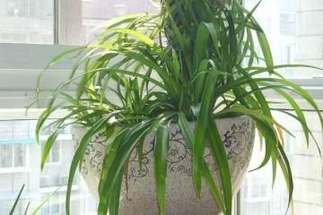 吊兰盆栽换盆之后 根壮得像萝卜 图片