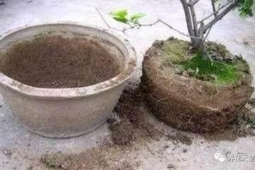 别在给盆栽浇牛奶 小心换盆换土都救不活