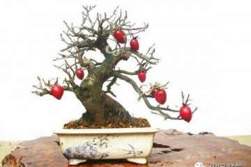 老鸦柿盆景怎么换土换盆的步骤 图片