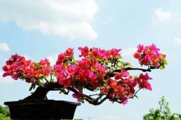 三角梅盆景需要每年换土换盆么?