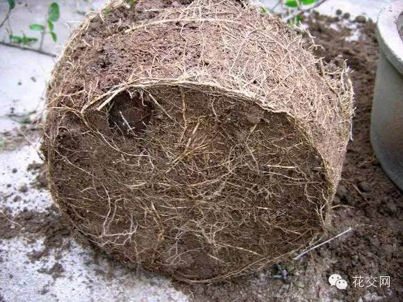 盆栽为什么要翻盆换土?