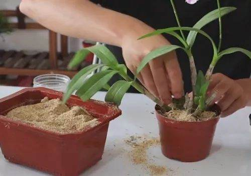 石斛兰盆栽的换盆方法和过程