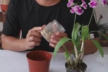 石斛兰盆栽的换盆方法和过程 图片