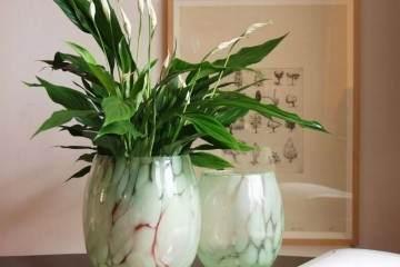 白掌盆栽换盆 要剪掉这几种根 才能花开不断!