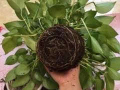图解 给绿萝换盆的5个步骤