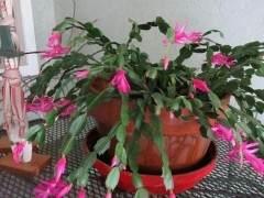蟹爪兰换盆之后 促进开花的3个技巧